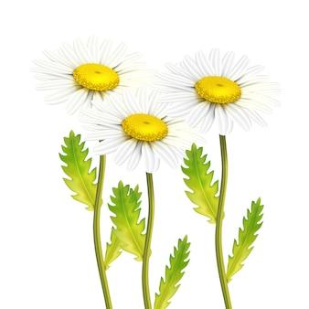 Realistyczny zestaw kwiatów rumianku stokrotka