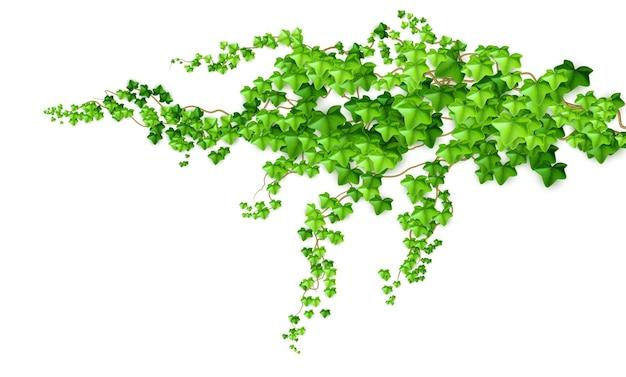 Realistyczny zielony krzew liany bluszcz na białym tle. ilustracja wektorowa