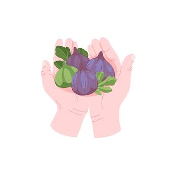 Ręce trzyma kilka owoców tropikalnych, dojrzałe figi w ręce wektor ikona w stylu cartoon. zbioru dojrzałych letnich owoców ikona na białym tle.