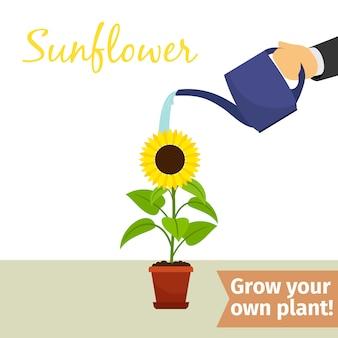 Ręczne podlewanie roślin słonecznika