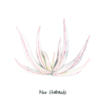 Ręcznie rysowane aloe chabaudii roślin