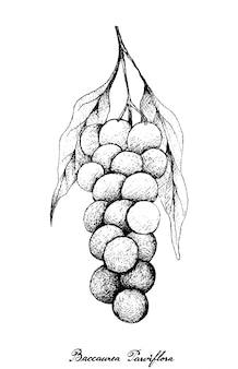 Ręcznie rysowane baccaurea parviflora na wiązce drzew