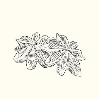 Ręcznie rysowane badian. anyż suchy na białym tle. grawerowanie w stylu vintage. ilustracja wektorowa
