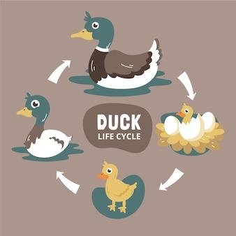 Ręcznie rysowane cykl życia kaczki