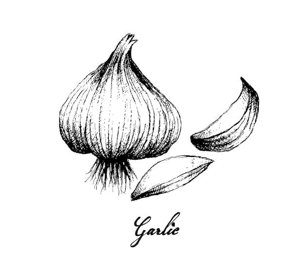 Ręcznie rysowane czosnku na białym tle