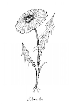 Ręcznie rysowane dandelion roślin na białym tle