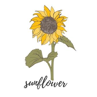 Ręcznie rysowane elementy jesiennego kwiatu słonecznik