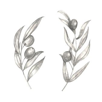 Ręcznie rysowane gałązki oliwne z liśćmi.