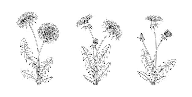 Ręcznie rysowane ilustracja kwiatowy mniszek z grafiką na białym tle.