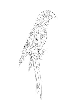 Ręcznie rysowane ilustracja ptak papuga ara, na białym tle realistyczny szkic zwierzęcia