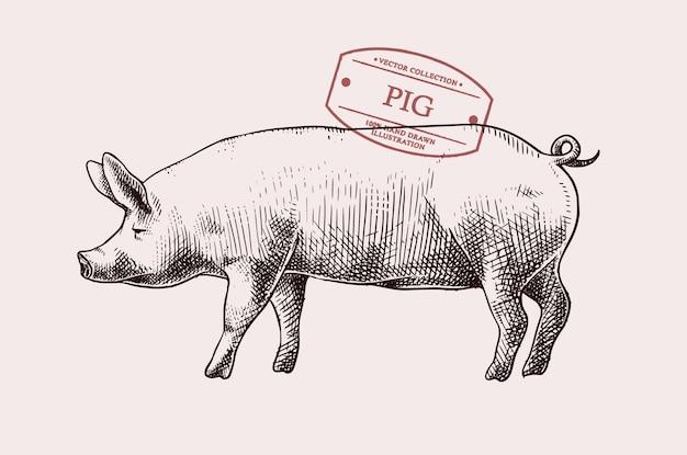 Ręcznie rysowane ilustracja świnia w stylu vintage