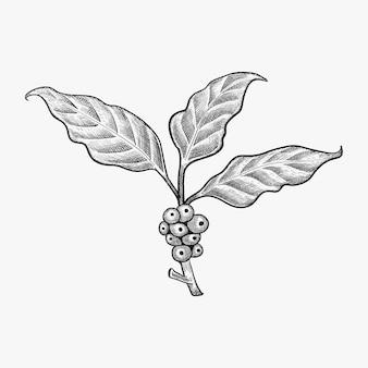 Ręcznie rysowane liści kawy wektor - wektor ziarna kawy