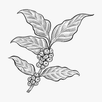 Ręcznie rysowane liści kawy wektor
