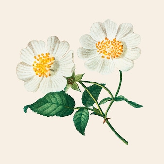 Ręcznie rysowane macartney róża wektor kwiat rocznika ilustracji
