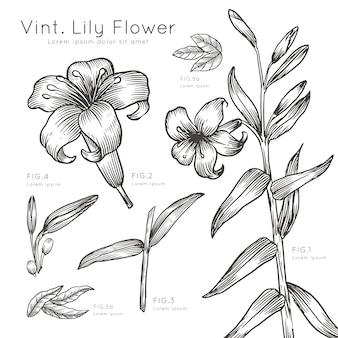Ręcznie rysowane opis kwiatów lilii