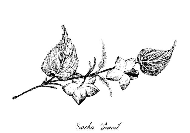 Ręcznie rysowane orzeszki ziemne sacha