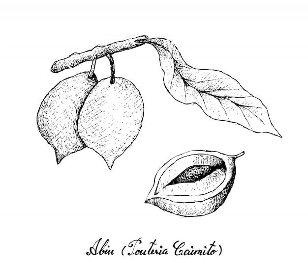 Ręcznie rysowane owoce abiu