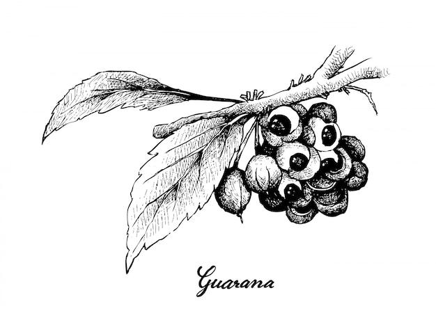 Ręcznie rysowane owoce guarany lub paullinia cupana
