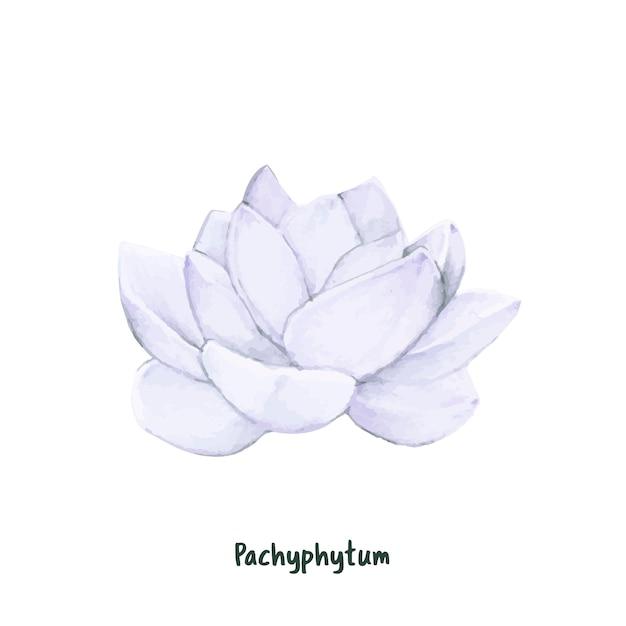 Ręcznie rysowane pachyphytum soczyste na białym tle