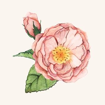 Ręcznie rysowane piwonia kwiat na białym tle