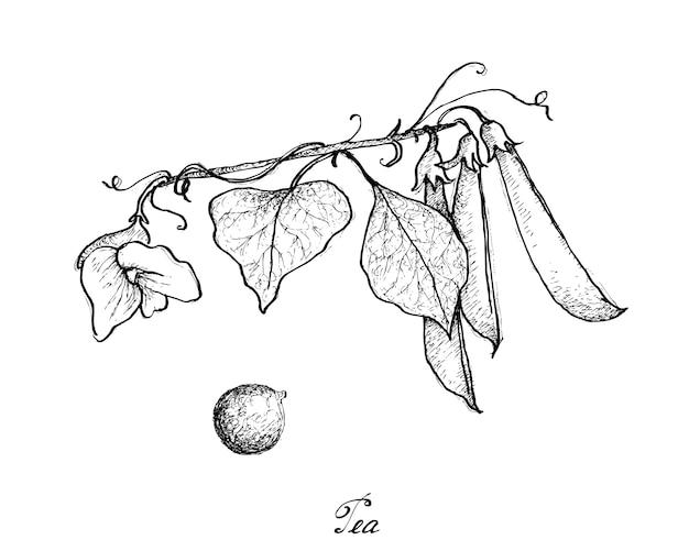 Ręcznie rysowane pyszne słodki zielony groszek