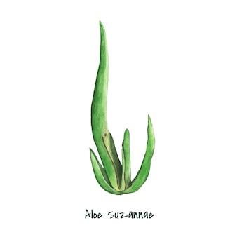 Ręcznie rysowane roślin aloesu suzannae