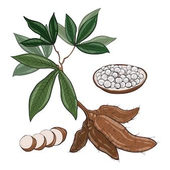 Ręcznie rysowane roślin tapioki
