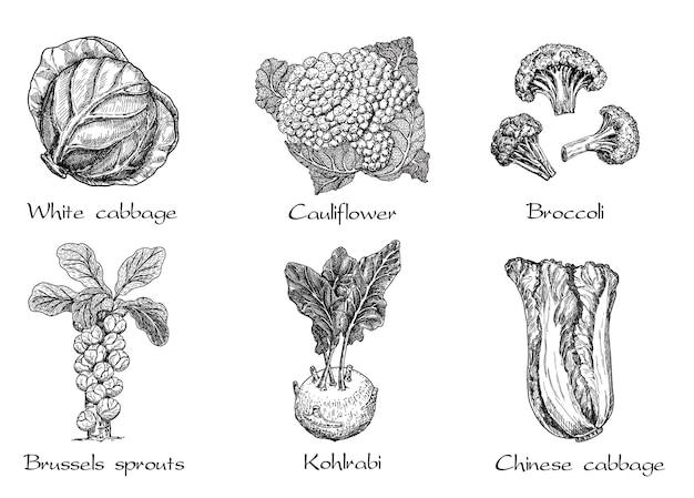 Ręcznie rysowane różne rodzaje kapusty na białym tle