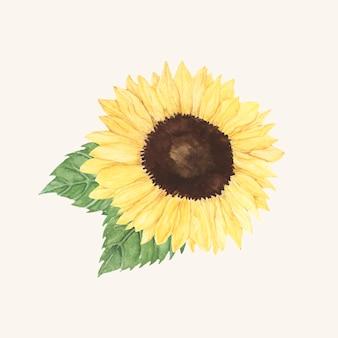 Ręcznie rysowane słonecznika na białym tle na beżowym tle
