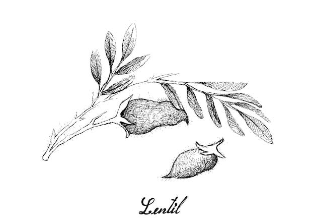 Ręcznie rysowane strąka świeżej soczewicy na drzewie