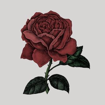 Ręcznie rysowane świeża czerwona róża