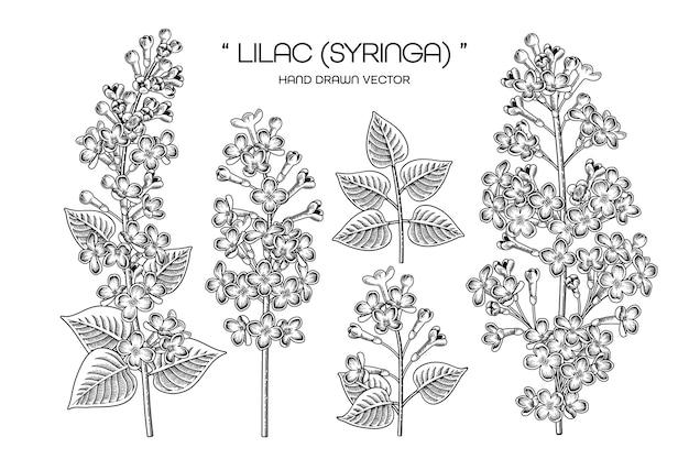 Ręcznie rysowane syringa vulgaris (bzu pospolitego) kwiat ozdobny zestaw czarna grafika liniowa na białym tle.