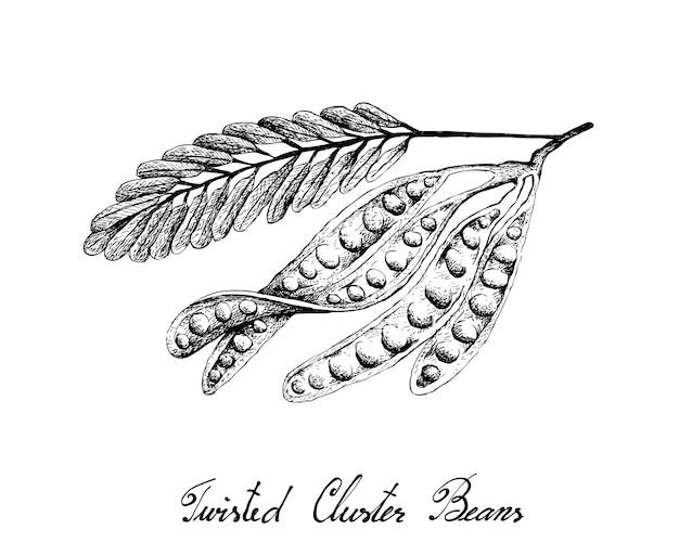 Ręcznie rysowane szkic twisted cluster beans