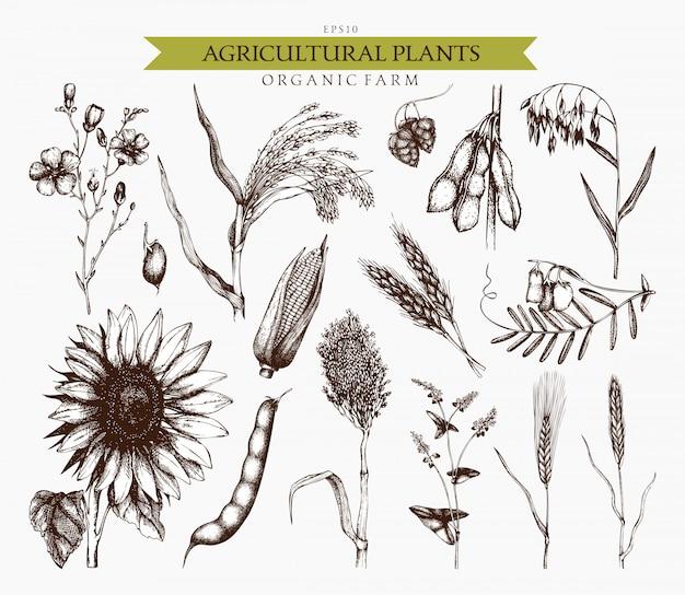 Ręcznie rysowane szkice roślin rolniczych. ręcznie zarysowane zbiory ilustracji roślin zbożowych i roślin strączkowych