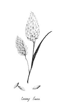 Ręcznie rysowane trawy kanaryjskiej