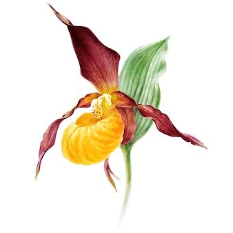 Ręcznie rysowane wektor akwarela orchidei kwiat paphiopedilum