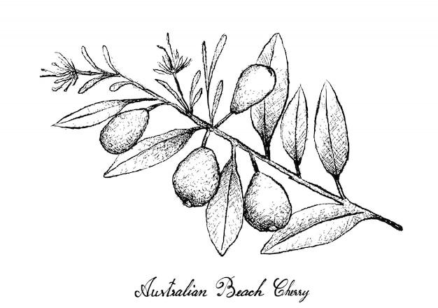 Ręcznie rysowane wiśni australijskiej plaży na białym tle