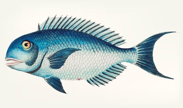 Ręcznie rysowane z blue coryphaena