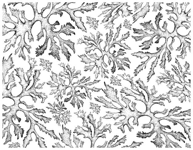 Ręcznie rysowane z carola wodorostów na białym tle