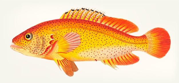 Ręcznie rysowane z golden holocentrus