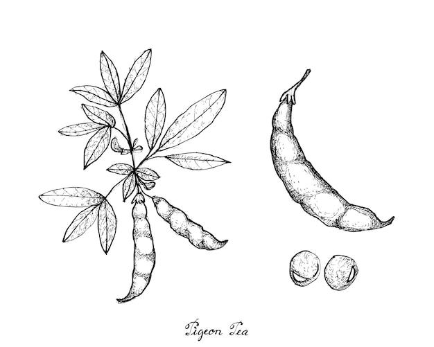 Ręcznie rysowane z gołębia groszku i cajanus cajan roślin