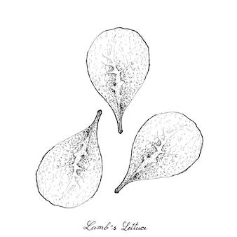 Ręcznie rysowane z jagnięciny sałata na białym tle