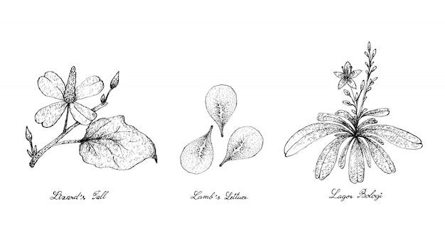 Ręcznie rysowane z ogona jaszczurki, sałaty jagnięcej i lagos bologi