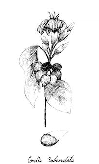Ręcznie rysowane z owoców cordia caffra na gałęzi drzewa