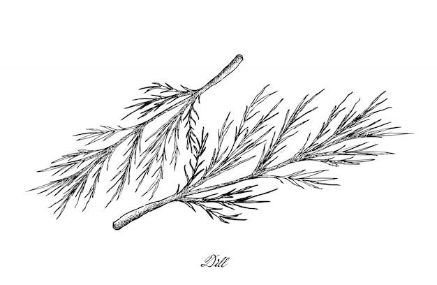 Ręcznie rysowane z roślin kopru na białym tle