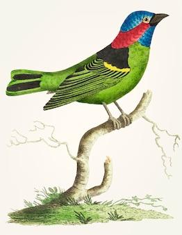 Ręcznie rysowane z zielonym tanager