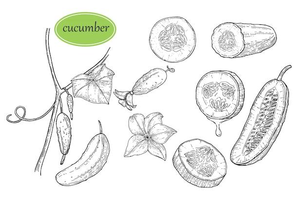 Ręcznie rysowane zestaw ogórek z liści i kwiatów. szkic ilustracji wektorowych ilustracja stylu grawerowane warzyw. produkt na rynek rolny.