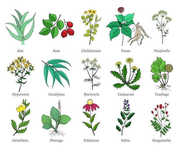 Ręcznie rysowane zioła lecznicze. zielony na białym tle
