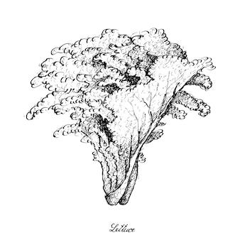 Ręka rysująca sałata na białym tle