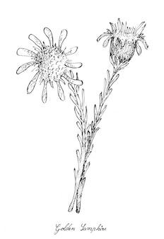 Ręka rysująca złoty samphire na białym tle